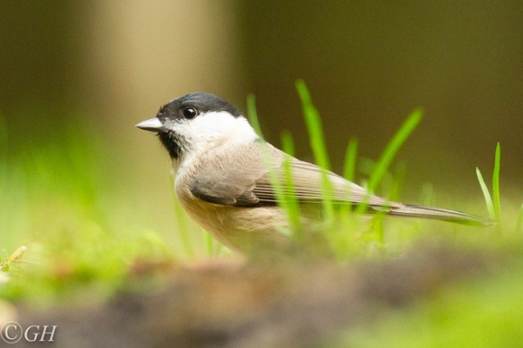Marsh tit, 25 October 2019