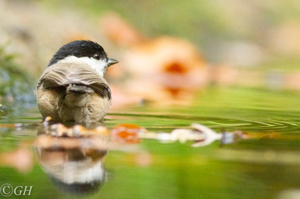 Marsh tit bathing, 25 October 2019