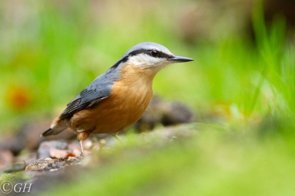Nuthatch, 25 October 2019