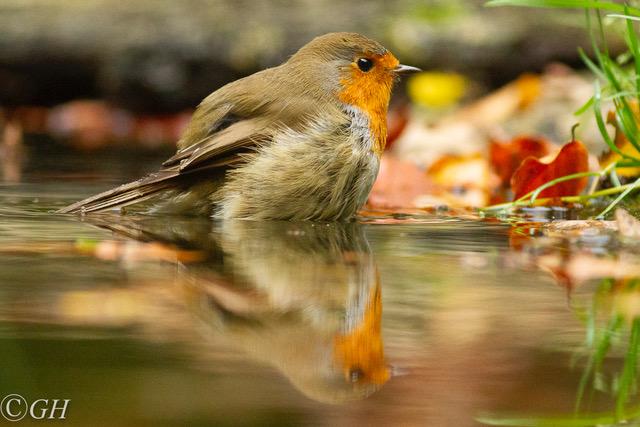Robin bathing, 25 October 2019