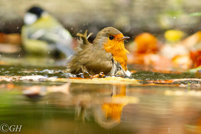 Robin bathing, on 25 October 2019