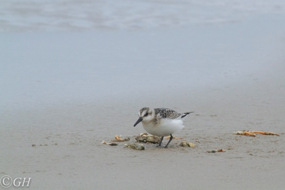 Sanderling, on Terschelling, 28 September 2019