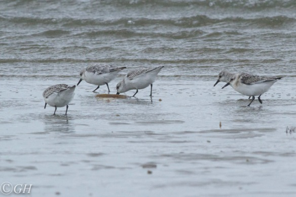 Sanderlings, on Terschelling, 28 September 2019