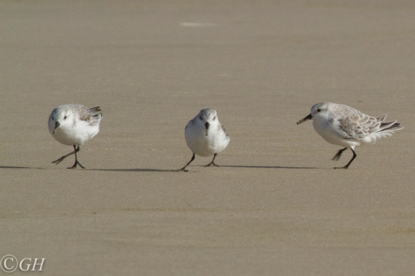 Sanderlings, Terschelling 28 September 2019
