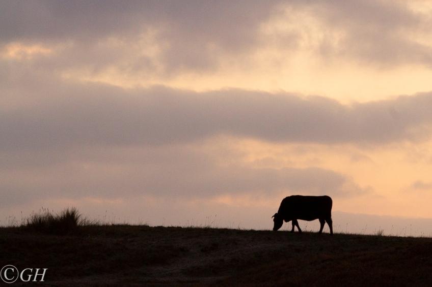 Cow, 21 January 2020, Schoorl