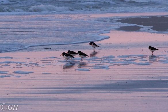 Oystercatchers, Schoorl 20 January 2020
