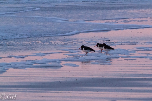 Oystercatchers, Schoorl beach, 20 January 2020