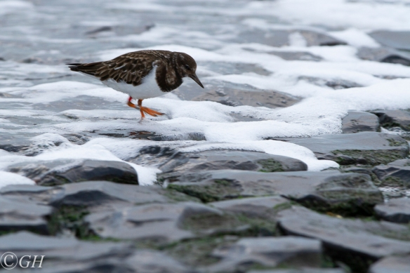 Turnstone, 21 January 2020, Schoorl