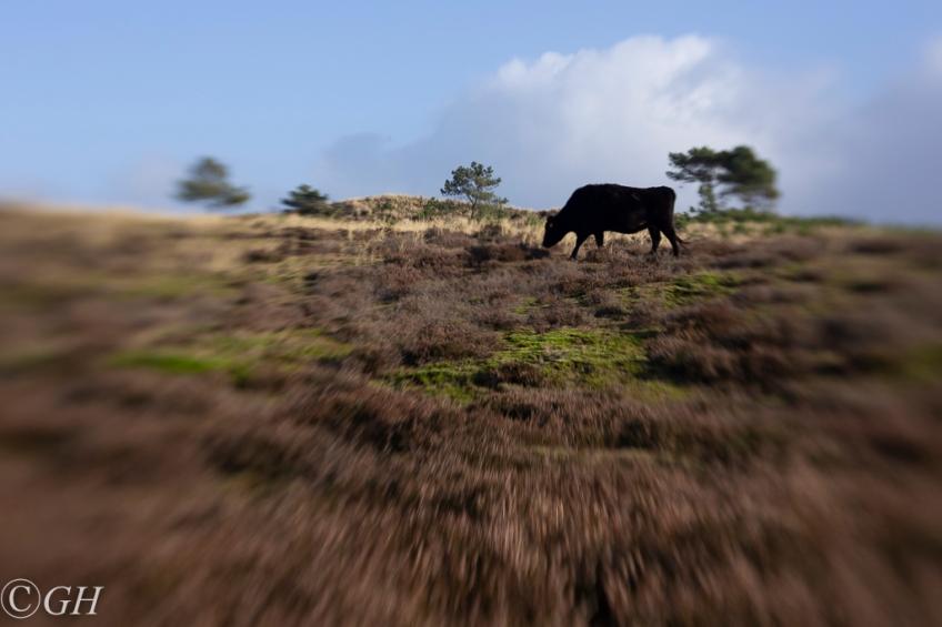 Wagyu cow, Schoorl 19 January 2020