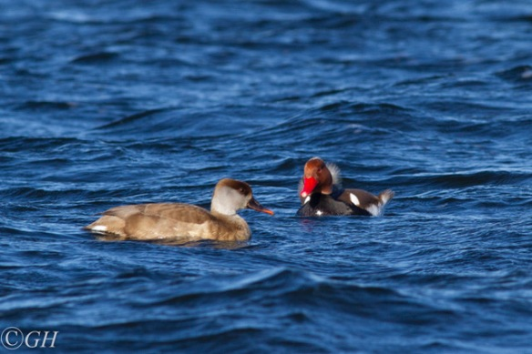 Red-crested pochards, 2020