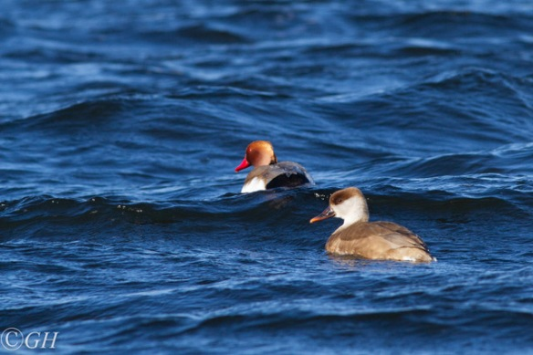Red-crested pochards and waves, in 2020