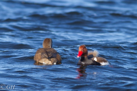 Red-crested pochards, in 2020