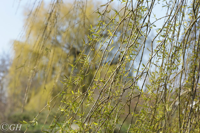 Weeping willow branches, 2 April 2020