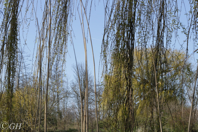 Weeping willow, on 2 April 2020