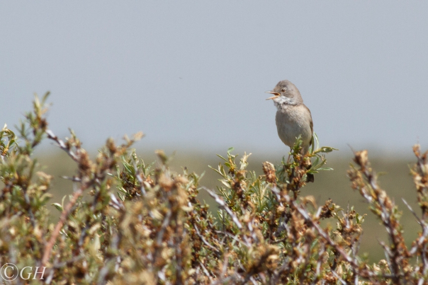 Common whitethroat, on 20 May 2020