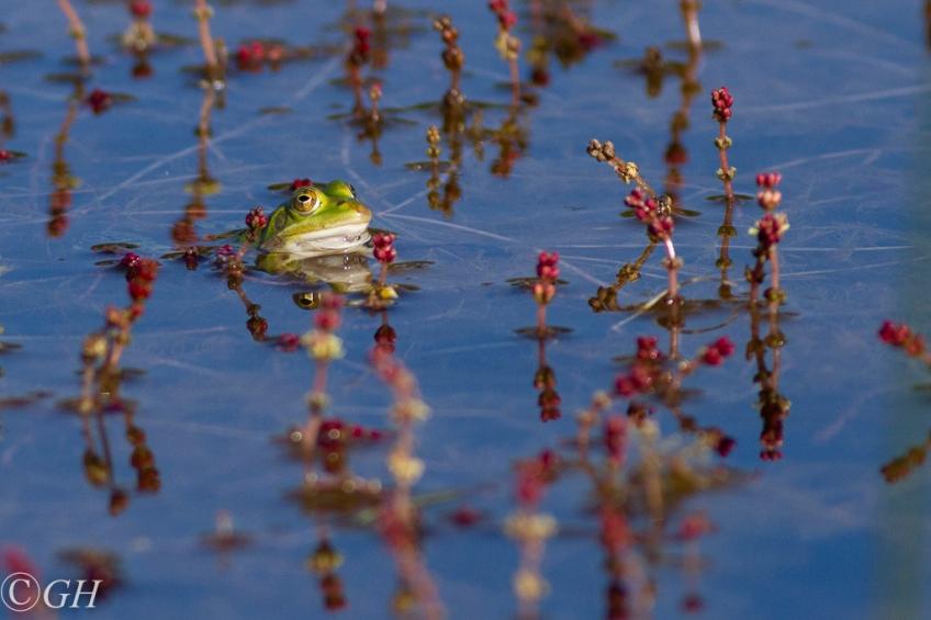 Edible frog, on 17 May 2020