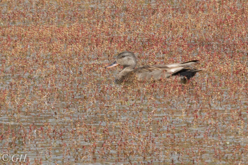 Gadwall, on 20 May 2020
