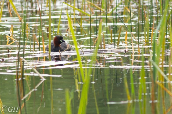 Little grebe, 19 May 2020