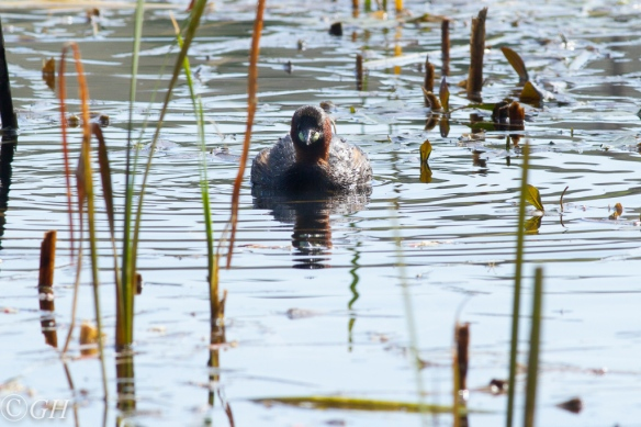 Little grebe, on 19 May 2020
