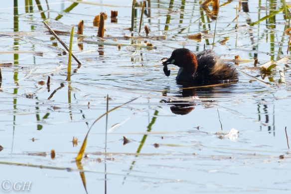 Little grebe with food, 19 May 2020
