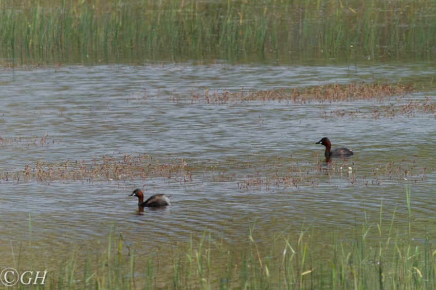 Little grebes, 20 May 2020