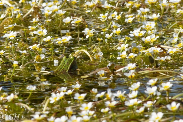White water-crowfoot and edible frog, 19 May 2020