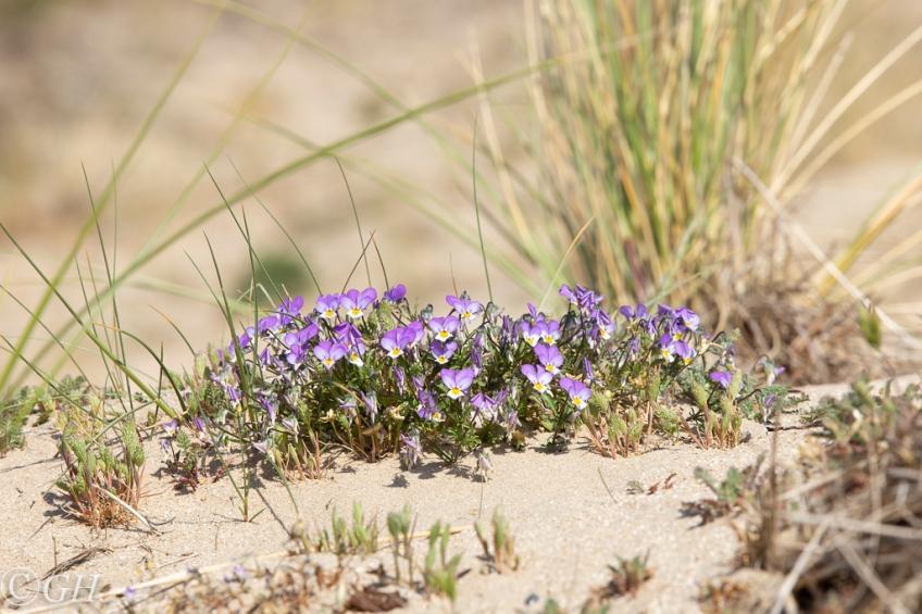 Wild pansies, 18 May 2020