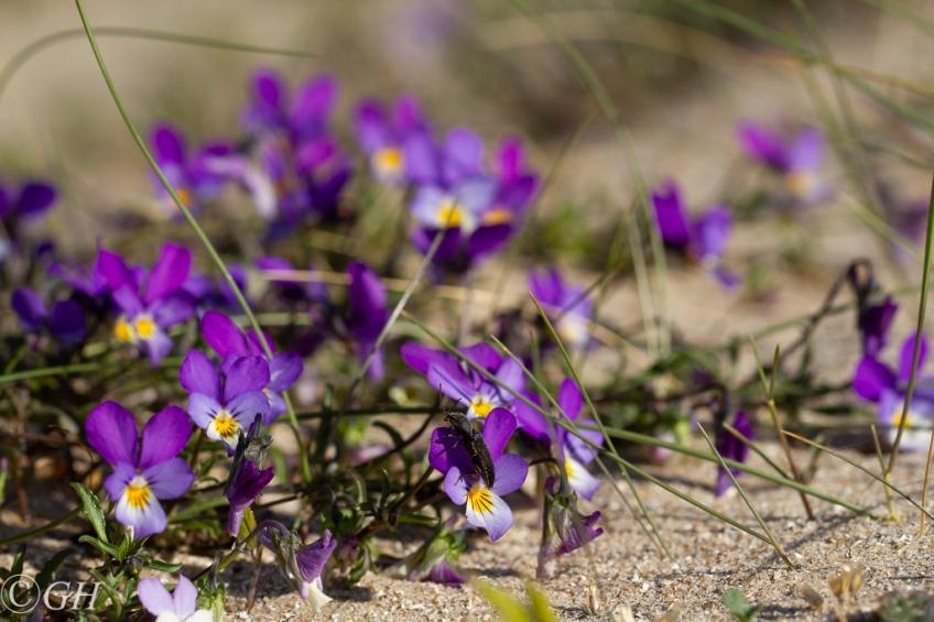 Wild pansies, Egmond, 17 May 2020