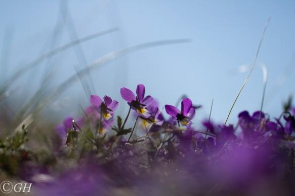 Wild pansies, Egmond, on 17 May 2020