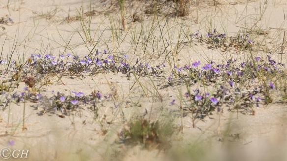 Wild pansies, on 18 May 2020