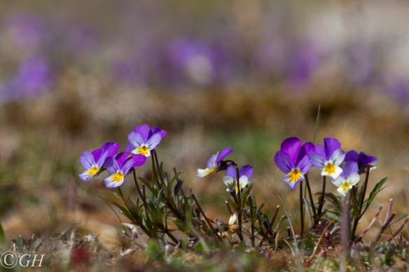 Wild pansies, on 20 May 2020