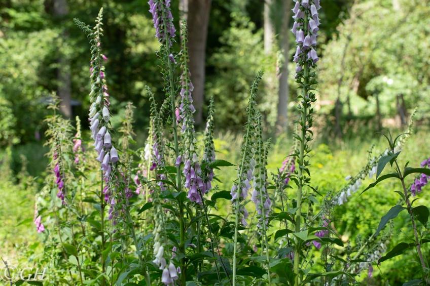 Foxglove flowers, on 8 June 2020