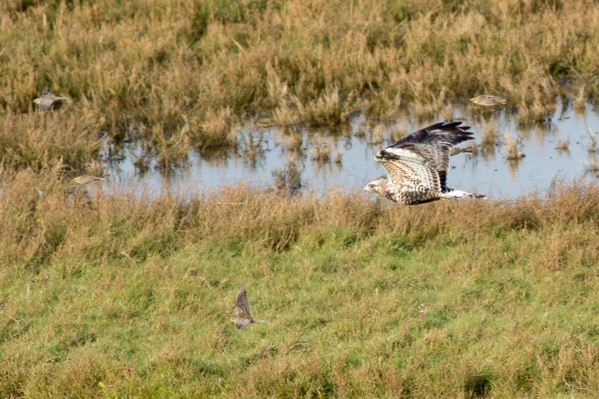 Rough-legged buzzard. Groningen province