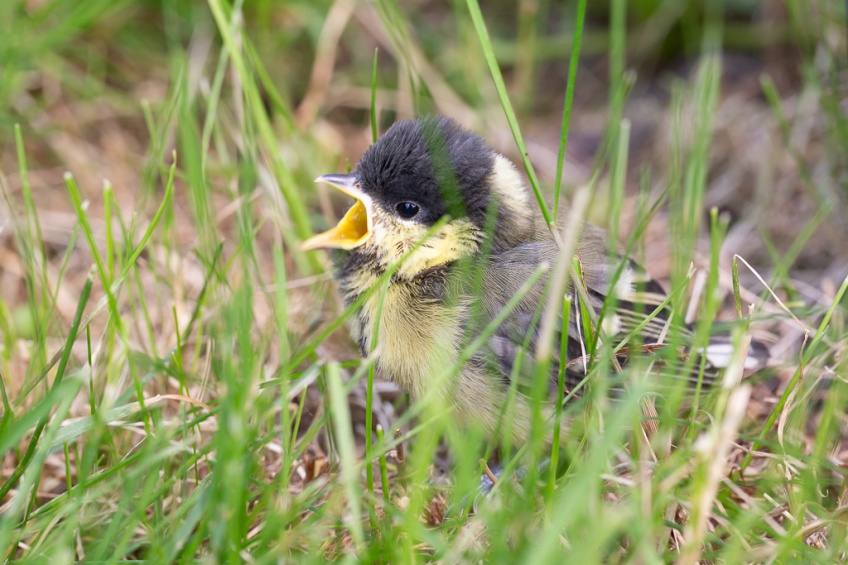 Young great tit, 9 June 2021