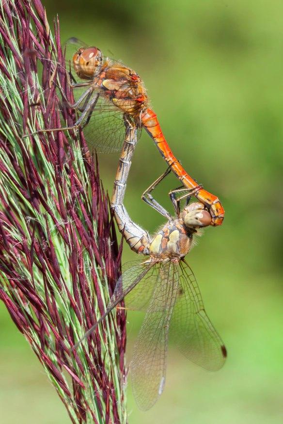 Common darters mating, 5 September 2021